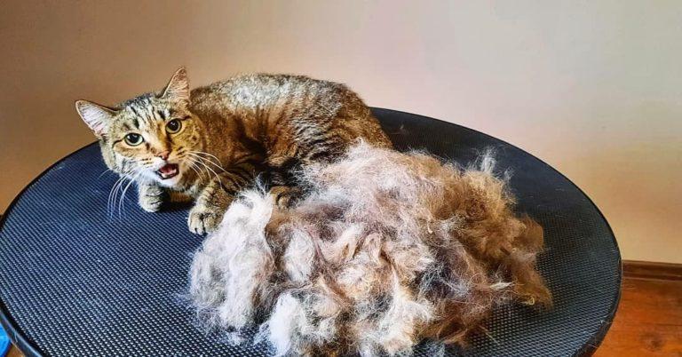 Экспресс-линька кошки
