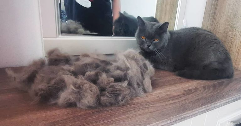 Экспресс-линька кошки Плюши