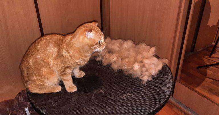 Стрижка кота Сёмы