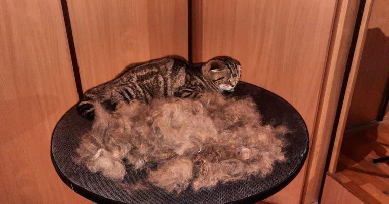 Экспресс-линька кошки Джеси