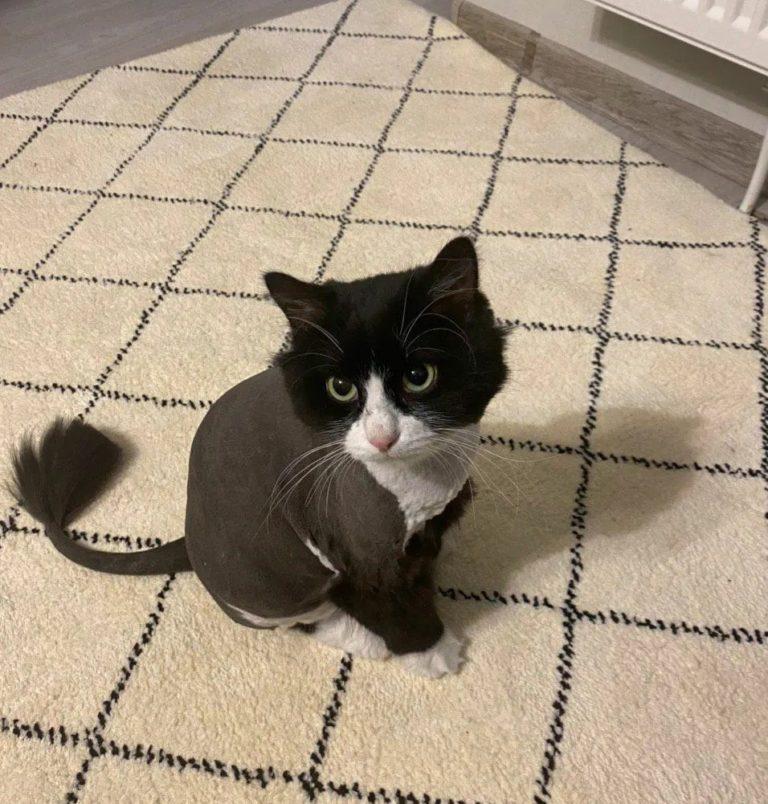 Стрижка кота Саймона